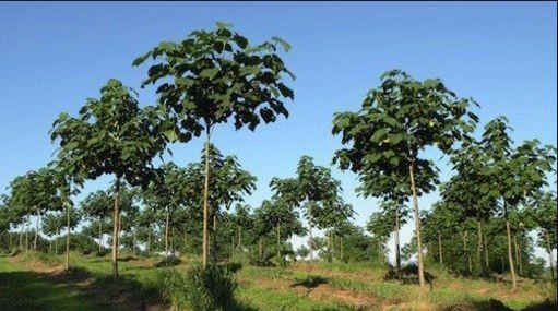 """Kiri,  el árbol """"milagroso"""" contra el cambio climático"""